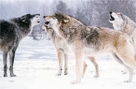 Wolves