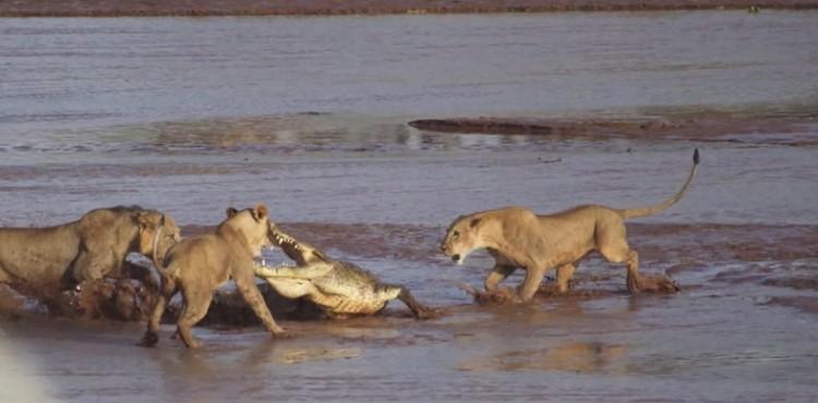 Lions v. Croc 8