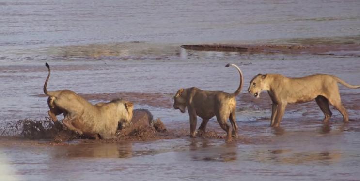 Lions v. Croc 9