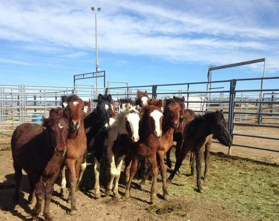 Wild horses being held at BLM corrals