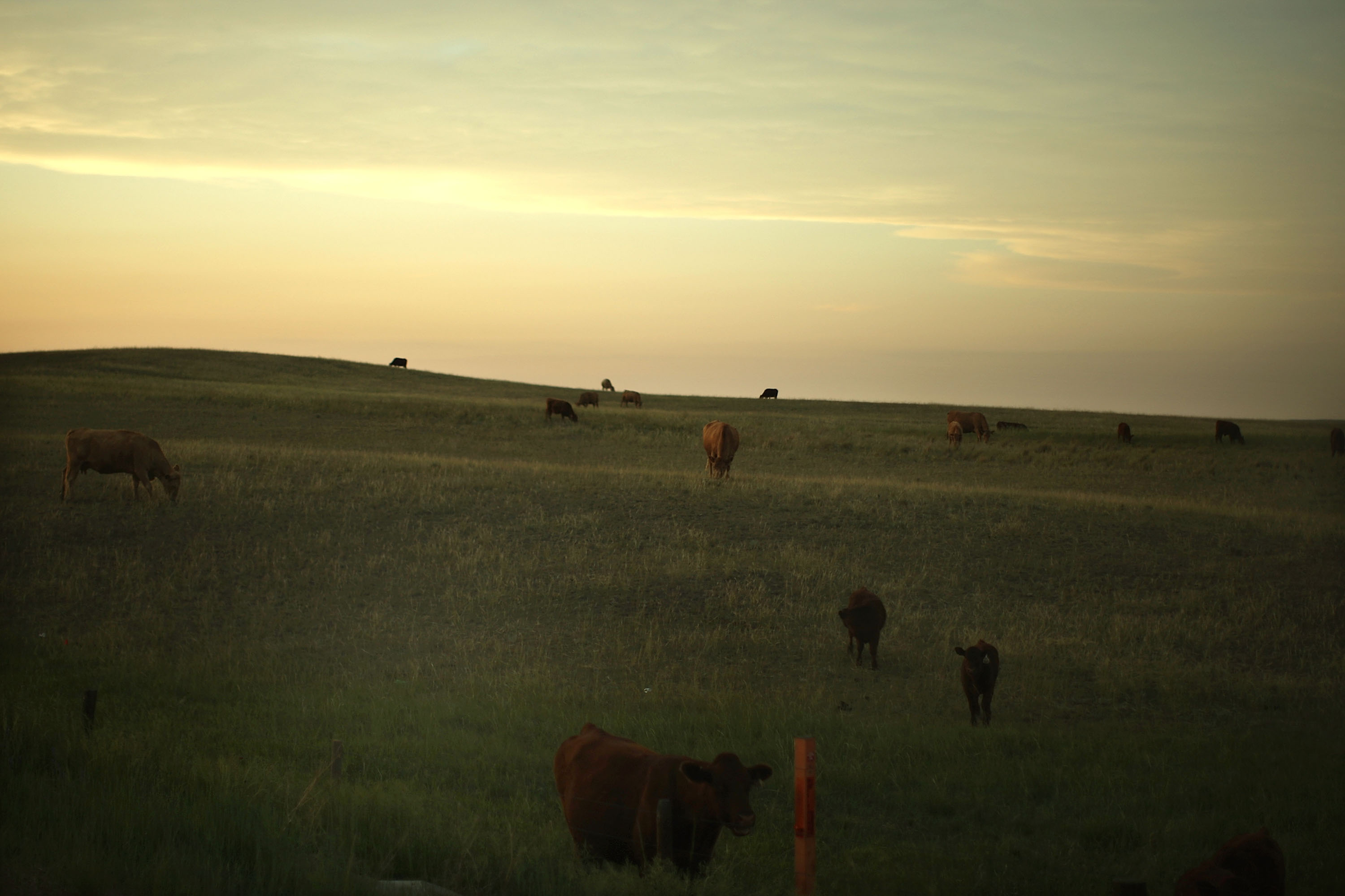 Grazing cattle in Wyoming