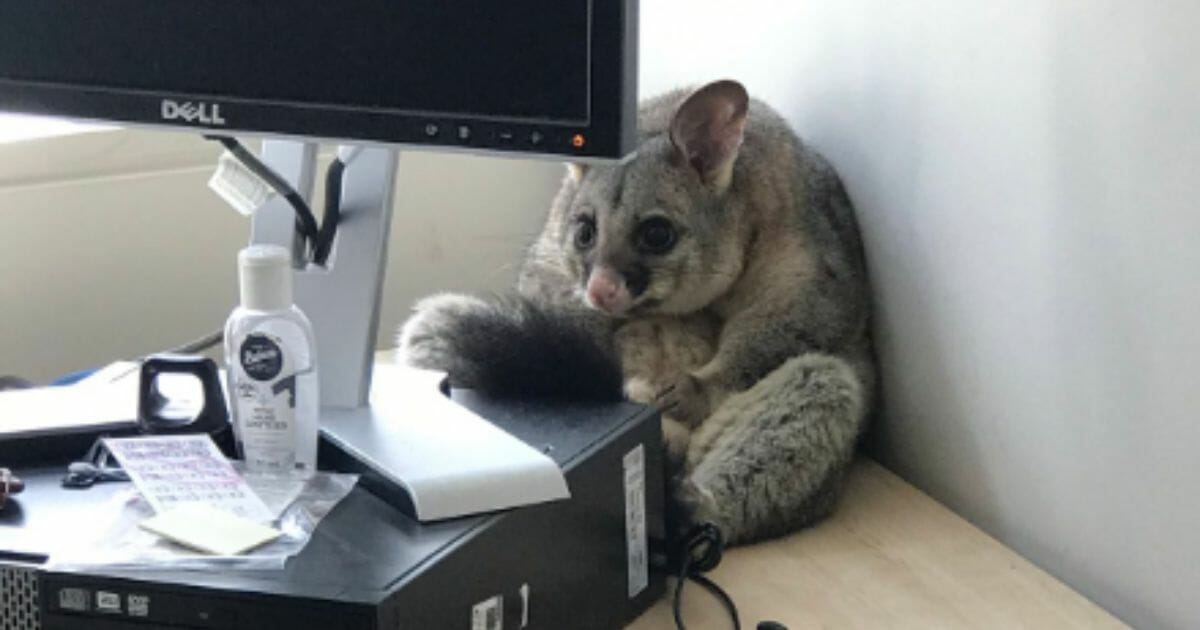 Possum 'Breaks In' and Trashes Woman's Office, Curls Up and Hides Behind Her Computer