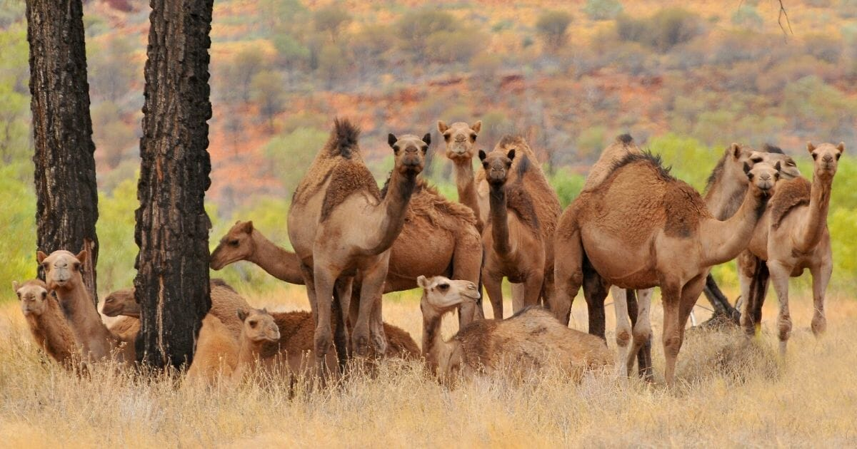 Australia Slaughtering 10,000 Camels To Combat Global Warming