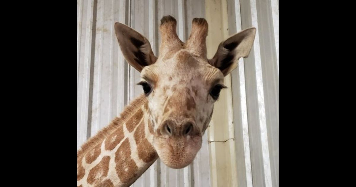 Azizi, The Last Calf Born to April the Giraffe, Has Passed Away: 'Absolutely Devastating'